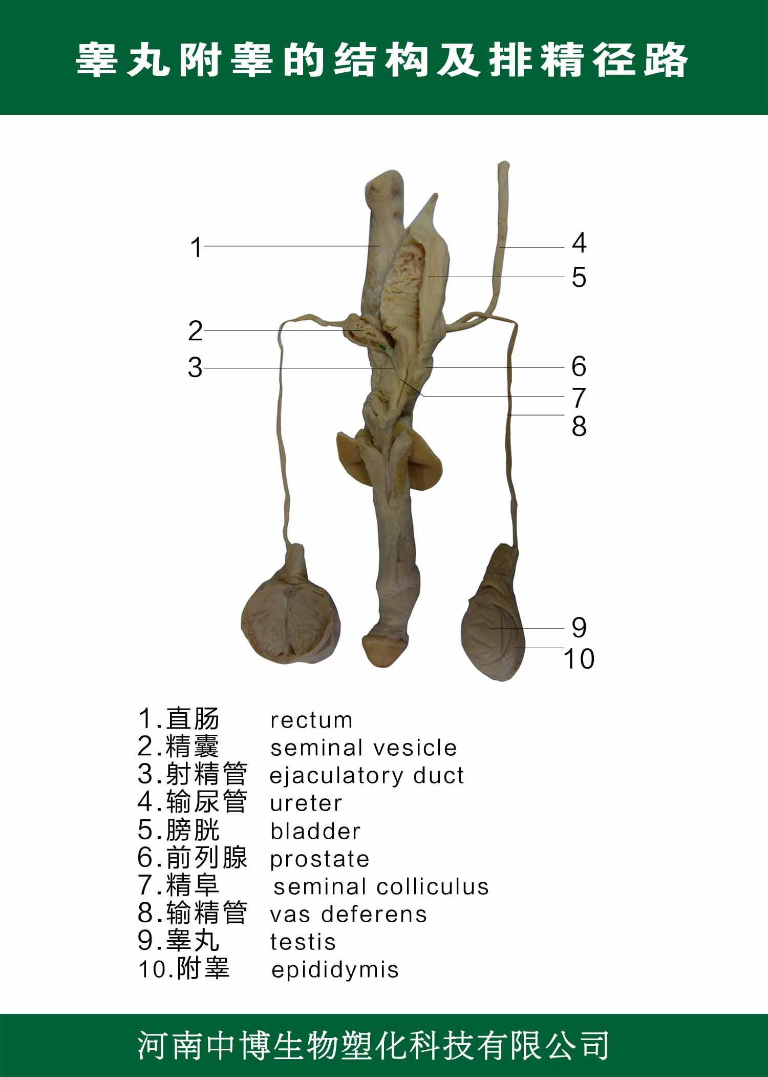 睾丸附睾的结构及排精径路