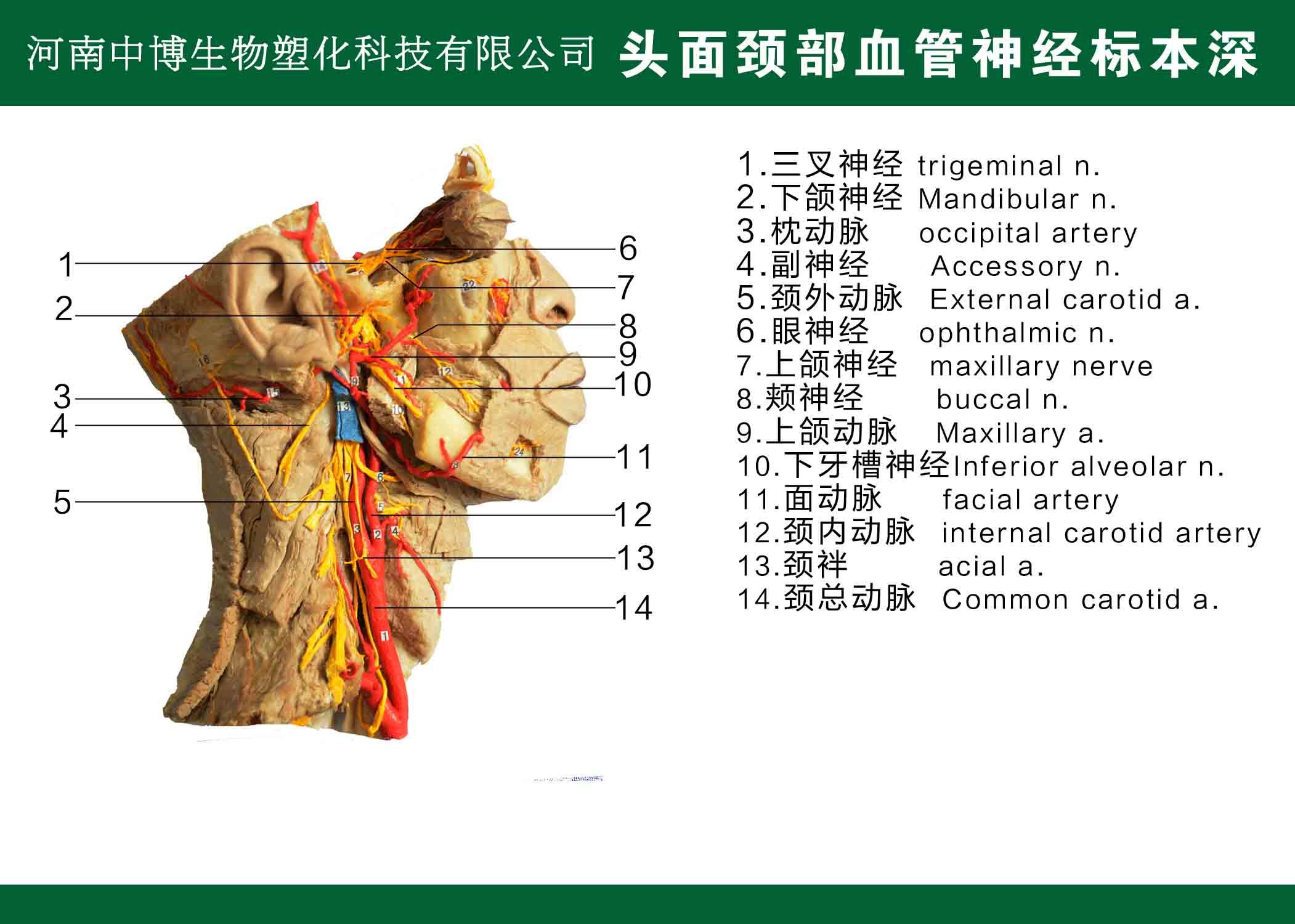 头面颈部血管神经标本深
